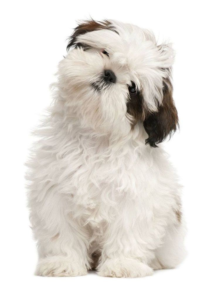 Shi Tzu's are Sacred Dogs